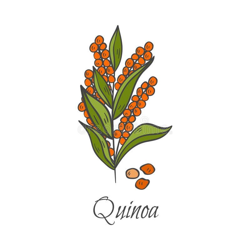 Ícone tirado mão do quinoa dos desenhos animados do vetor ilustração royalty free