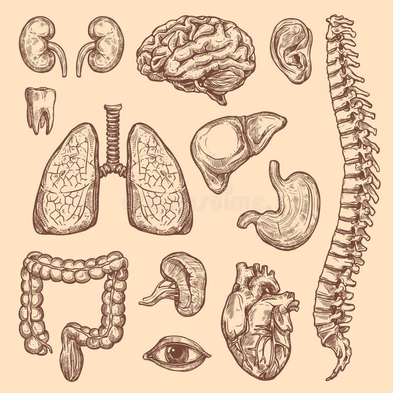Ícones da anatomia do corpo do esboço do vetor dos órgãos humanos ilustração stock
