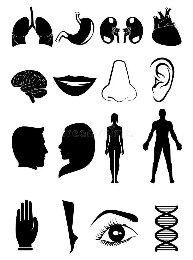 Ícones humanos da anatomia ilustração stock