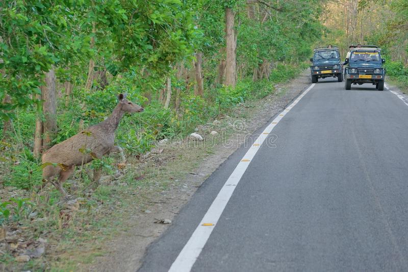 A Índia 18 de abril de 2019, um touro azul tenta cruzar a estrada e o turista aprecia o momento fotografia de stock