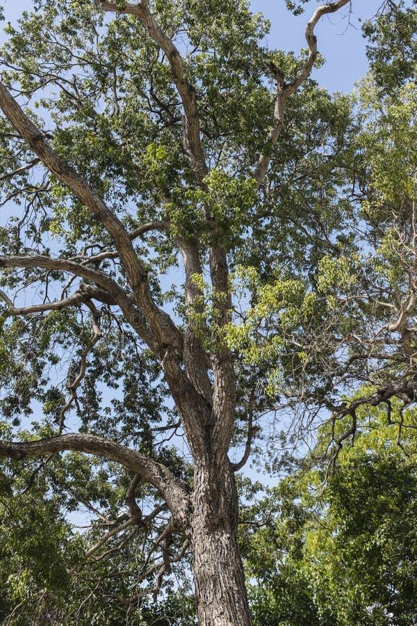Índias Ocidentais de Barbados da árvore de mogno imagens de stock