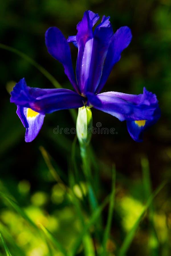 Íris azul foto de stock