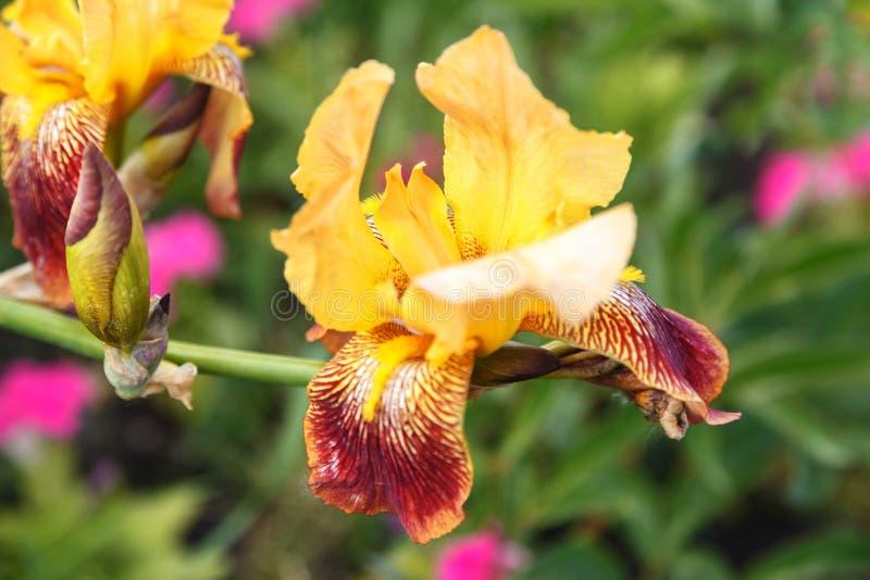 Íris coloridas que florescem no jardim Close-up da íris amarela da flor e do botão, foco macio imagem de stock royalty free