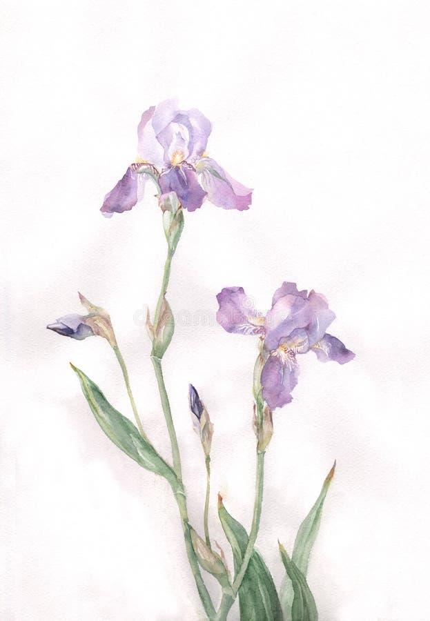 A íris floresce a pintura da aguarela ilustração stock