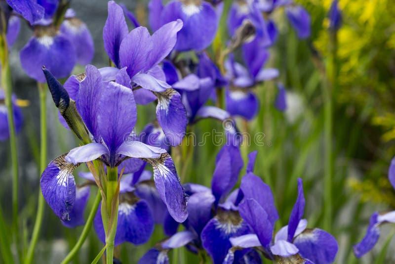 Íris japonesa pequena na flor completa fotografia de stock royalty free