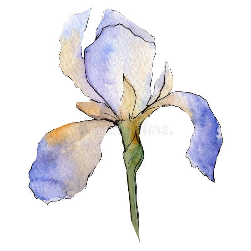 Íris roxa Flor botânica floral O aquarelle do desenho do Watercolour isolou-se Elemento isolado da ilustração da íris ilustração royalty free