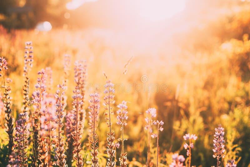 Άγρια ανθισμένα λουλούδια Lupine, λούπινο, λούπινο στο φως του ήλιου ανατολής ηλιοβασιλέματος στο λιβάδι τομέων θερινής άνοιξης στοκ φωτογραφίες
