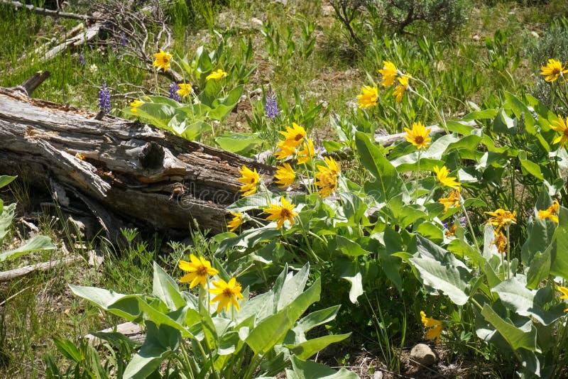 Άγρια λουλούδια sagittata Balsamroot Balsamorhiza Arrowleaf, εθνικό πάρκο Yellowstone στοκ φωτογραφία με δικαίωμα ελεύθερης χρήσης