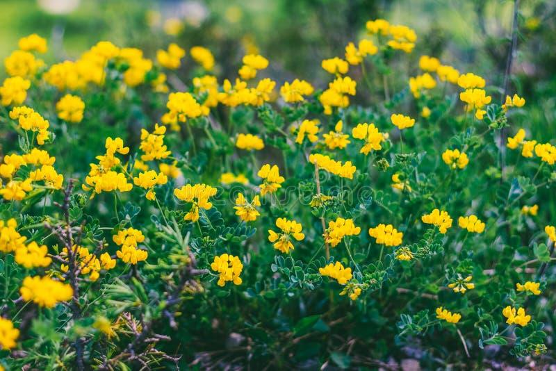 Άγρια δασικά κίτρινα λουλούδια στοκ εικόνες
