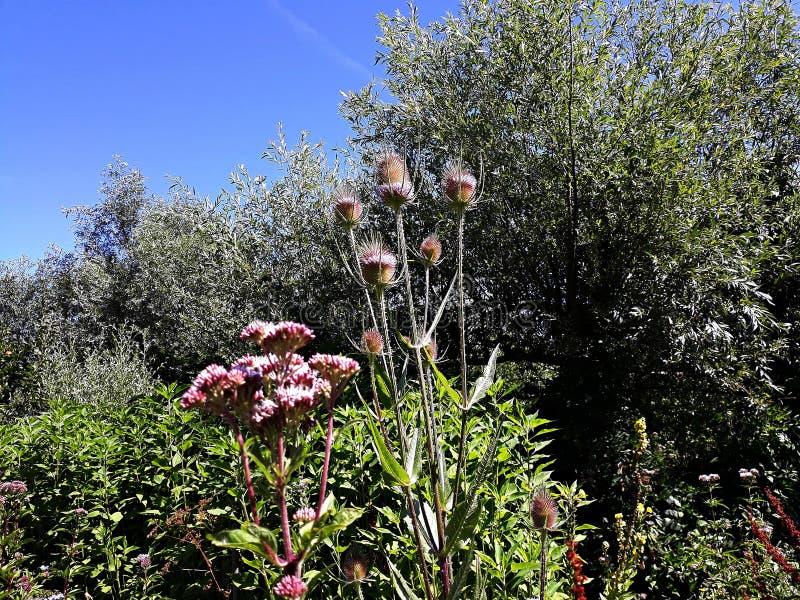 Άγρια Teasel ακιδωτά θερινά λουλούδια fullonum Dipsacus στοκ εικόνα