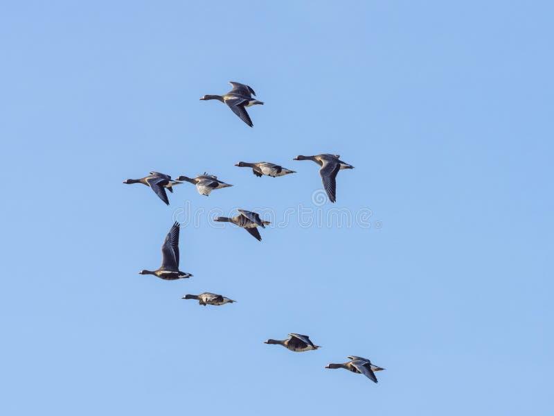 Άγριος γκρίζος σχηματισμός χήνων κατά την πτήση στοκ φωτογραφίες με δικαίωμα ελεύθερης χρήσης