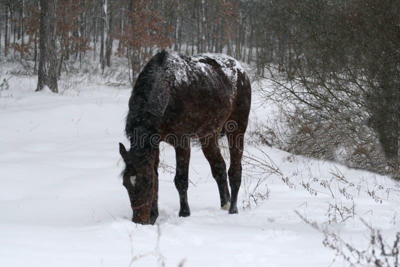 Άλογο που μένει στο χιόνι κατά τη διάρκεια χιονοπτώσεων στον τομέα στοκ φωτογραφία