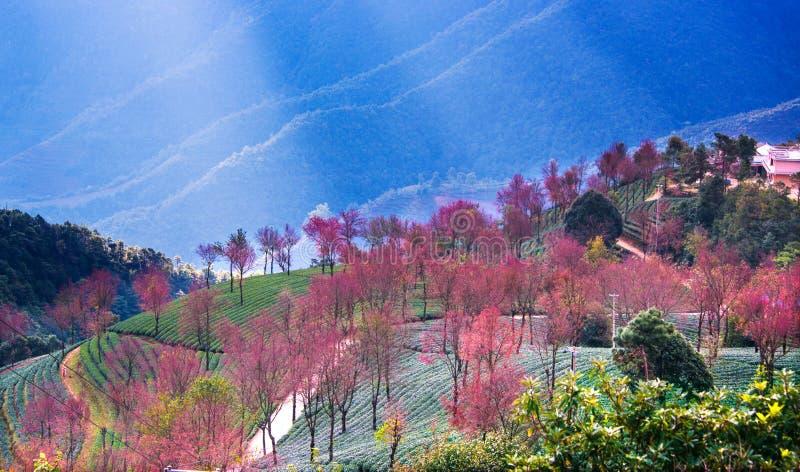 Άνθη κήπων και κερασιών τσαγιού σε wulishan στοκ εικόνα με δικαίωμα ελεύθερης χρήσης