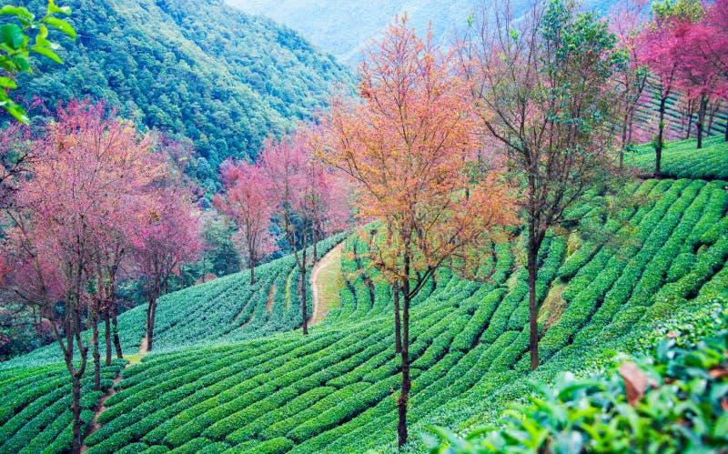 Άνθη κήπων και κερασιών τσαγιού σε wulishan στοκ εικόνες με δικαίωμα ελεύθερης χρήσης