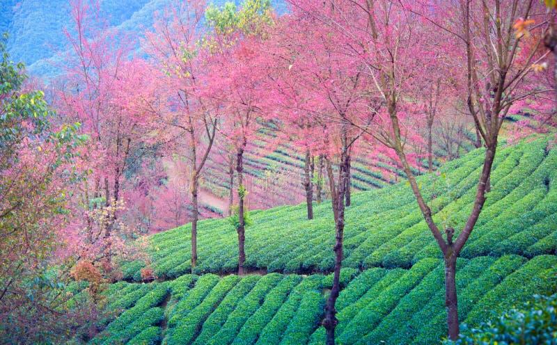 Άνθη κήπων και κερασιών τσαγιού σε wulishan στοκ φωτογραφία
