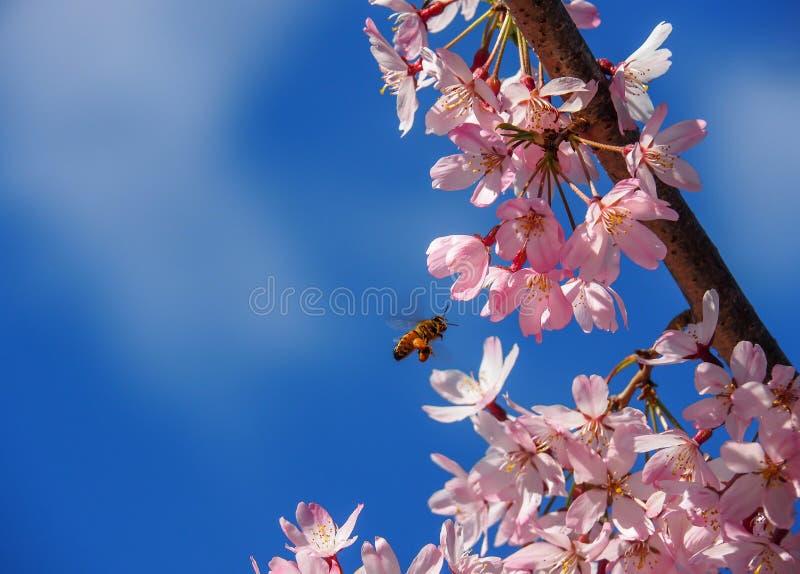 Άνθος κερασιών και μια μέλισσα μελιού στοκ εικόνες με δικαίωμα ελεύθερης χρήσης