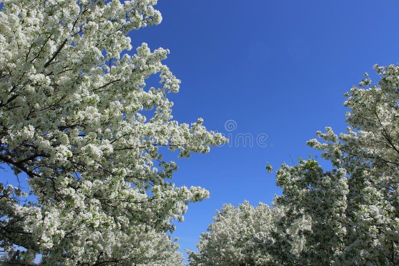 Άσπρα άνθη της Apple στην πλήρη άνθιση με το μπλε ουρανό ανωτέρω στοκ εικόνες