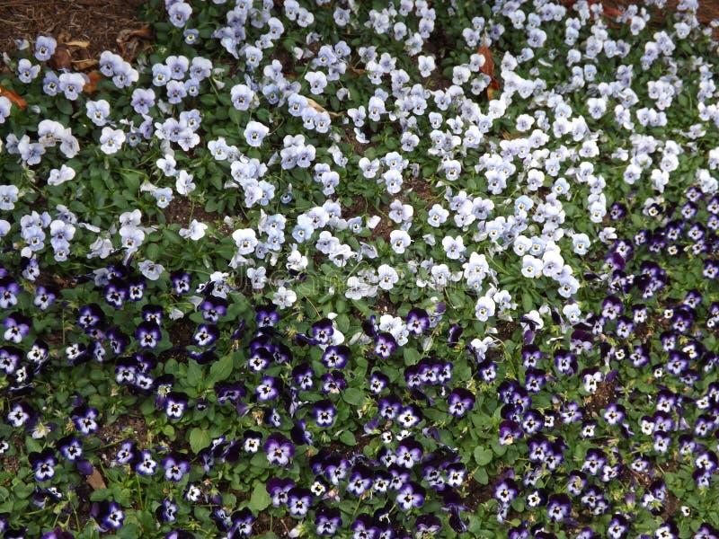 Άσπρα και πορφυρά pansies την άνοιξη στοκ εικόνες