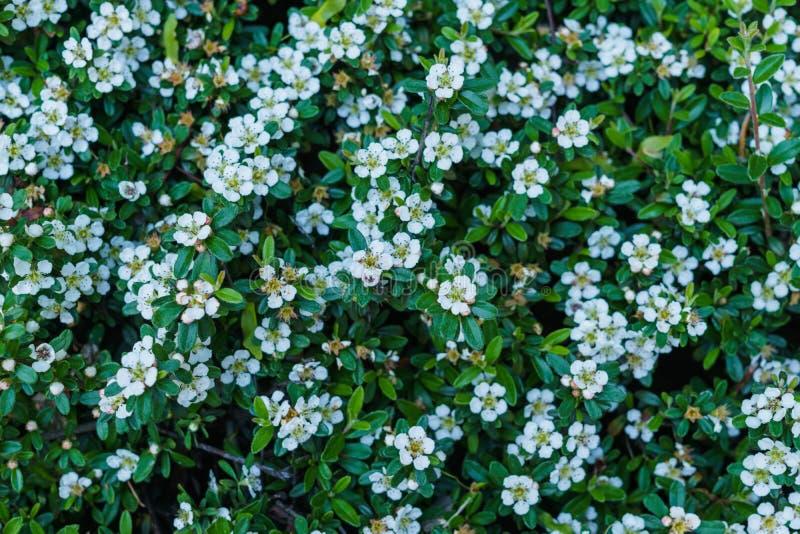Άσπρα λουλούδια άνοιξη για το κρεβάτι κήπων διακοσμήσεων στοκ εικόνες