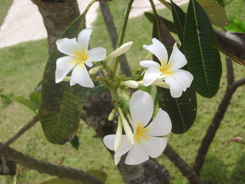 Άσπρα λουλούδια στο πράσινο υπόβαθρο, Σρι Λάνκα στοκ φωτογραφία