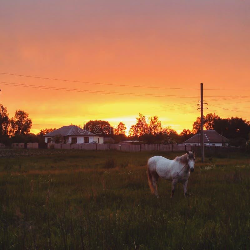 Άσπρη βοσκή αλόγων στον τομέα Ηλιοβασίλεμα στοκ φωτογραφίες
