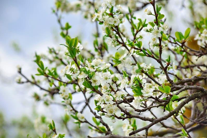 Άσπρη ρόδινη φωτογραφία αποθεμάτων δέντρων άνθισης ανθών δαμάσκηνων στοκ εικόνες