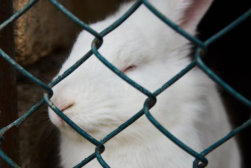 Άσπρη συνεδρίαση κουνελιών στο κλουβί πλέγματος χάλυβα, κινηματογράφηση σε πρώτο πλάνο έννοια ζώων αγροκτημάτων στοκ φωτογραφία με δικαίωμα ελεύθερης χρήσης