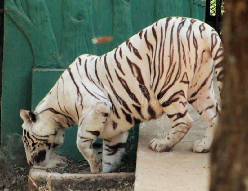 Άσπρη τίγρη που περπατά κοντά σε ένα σπίτι στοκ φωτογραφίες