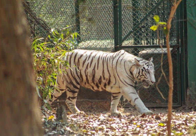 Άσπρη τίγρη που περπατά μέσα σε έναν ζωολογικό κήπο στοκ εικόνα