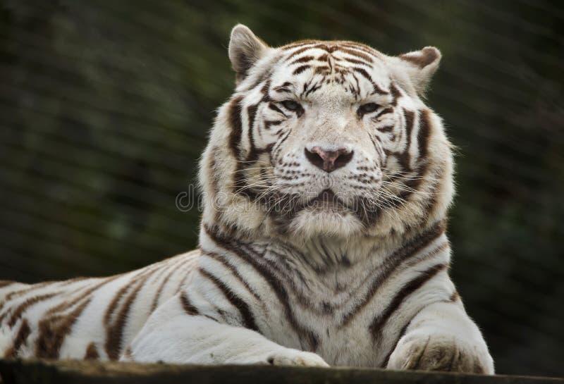 Άσπρη τίγρη Panthera Τίγρης Τίγρης στοκ φωτογραφίες