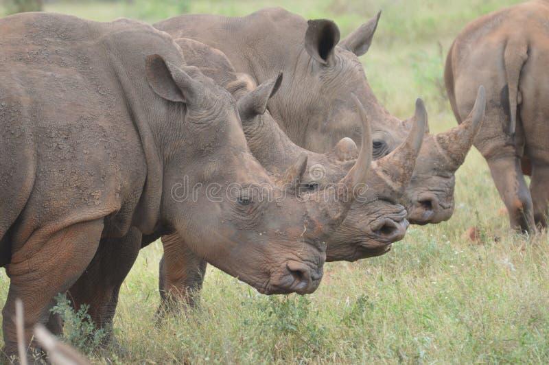 Άσπρη τοποθέτηση ρινοκέρων τριών ταύρων για με στην αρμονία στο εθνικό πάρκο Kruger στοκ εικόνες