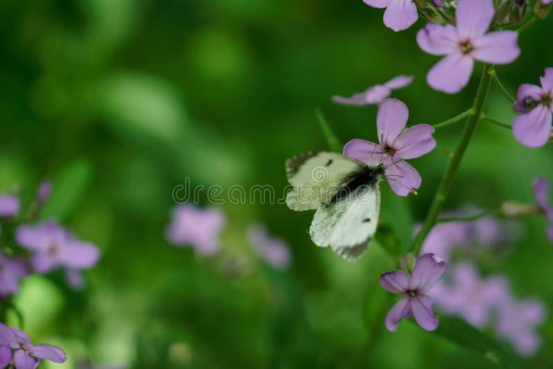 Άσπρη πεταλούδα στο ρόδινο λουλούδι στο μαύρο δάσος στοκ εικόνες