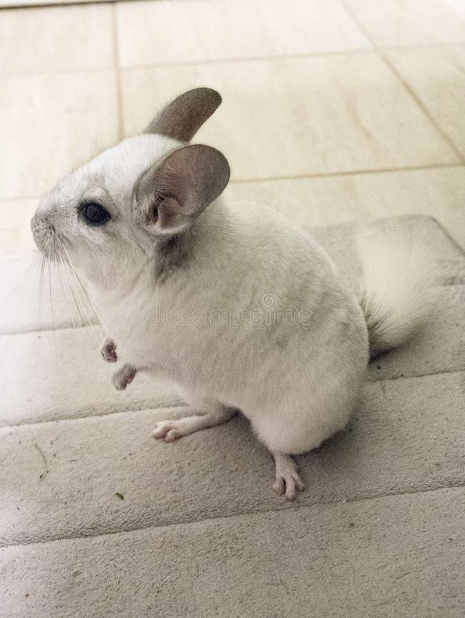 Άσπρο κατοικίδιο ζώο τσιντσιλά στοκ φωτογραφία με δικαίωμα ελεύθερης χρήσης