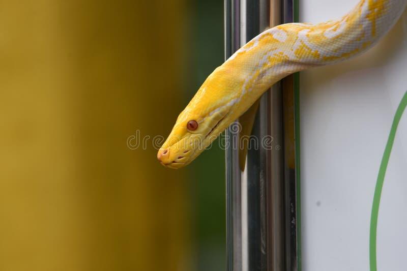 Άσπρο διαμορφωμένο albino φίδι ή ανοικτό κίτρινο μοτίβο στοκ φωτογραφίες με δικαίωμα ελεύθερης χρήσης
