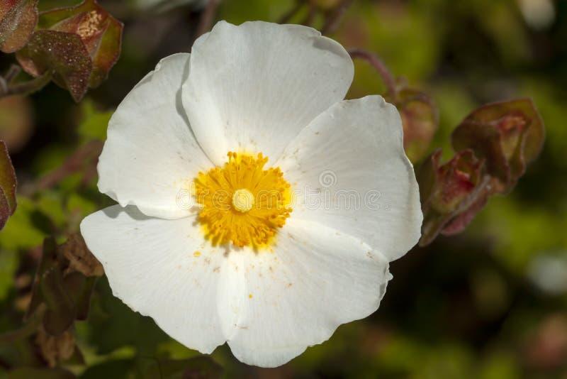 Άσπρο Cistus Salvifolius, λουλούδι αποκαλούμενο συνήθως λογικός-με φύλλα βράχος-αυξήθηκε, cistus salvia στοκ εικόνες με δικαίωμα ελεύθερης χρήσης