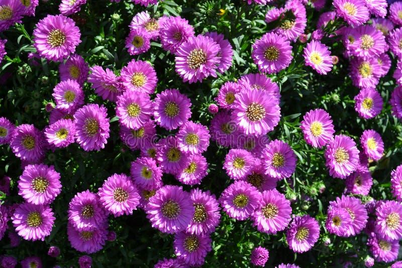 Άποψη κινηματογραφήσεων σε πρώτο πλάνο στα όμορφα επιλεγμένα ιώδη λουλούδια μαργαριτών στοκ φωτογραφίες