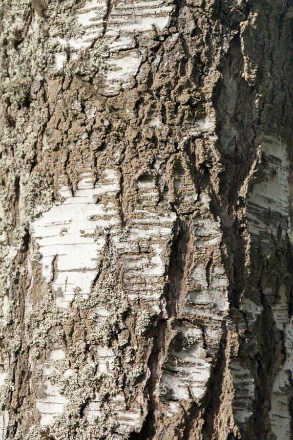 Άποψη κινηματογραφήσεων σε πρώτο πλάνο της ασημένιας σύστασης φλοιών δέντρων σημύδων στο δάσος της Φινλανδίας στο καλοκαίρι Κατάλ στοκ φωτογραφίες με δικαίωμα ελεύθερης χρήσης