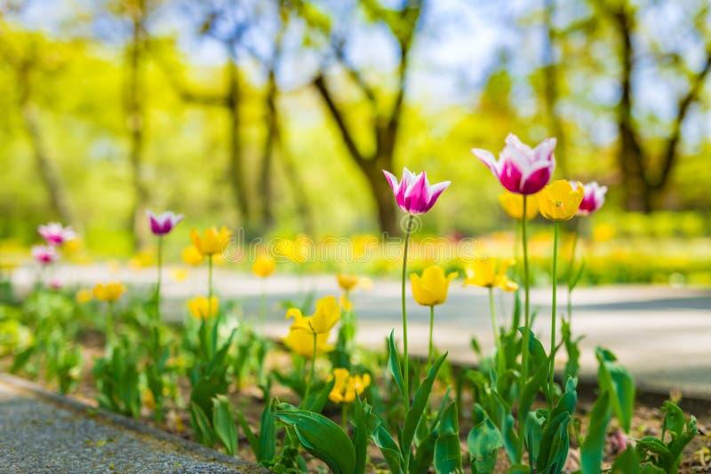 Άποψη φύσης πάρκων με τις τουλίπες και τη θολωμένα πράσινα χλόη και τα δέντρα στοκ φωτογραφία