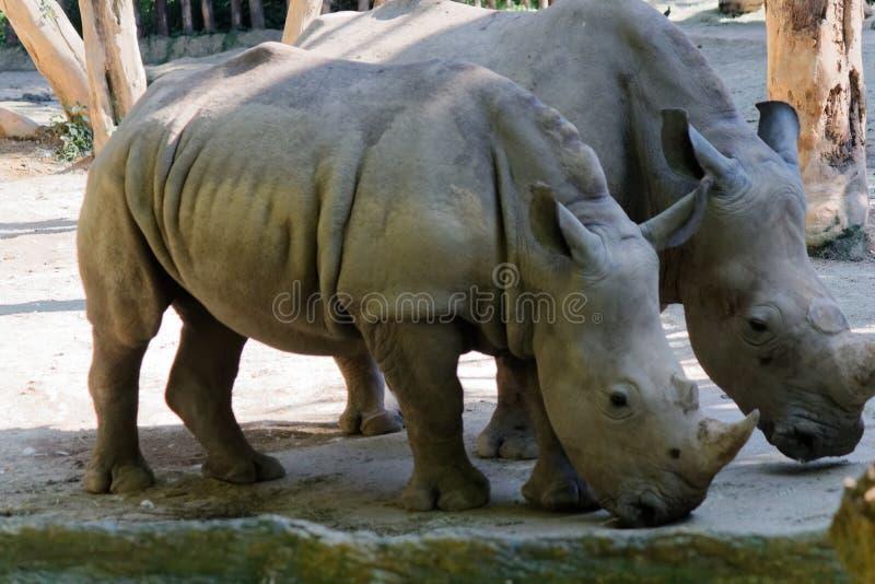 Ένας κερασφόρος άσπρος ρινόκερος, τετραγωνικός-χειλικός ρινόκερος στοκ φωτογραφίες