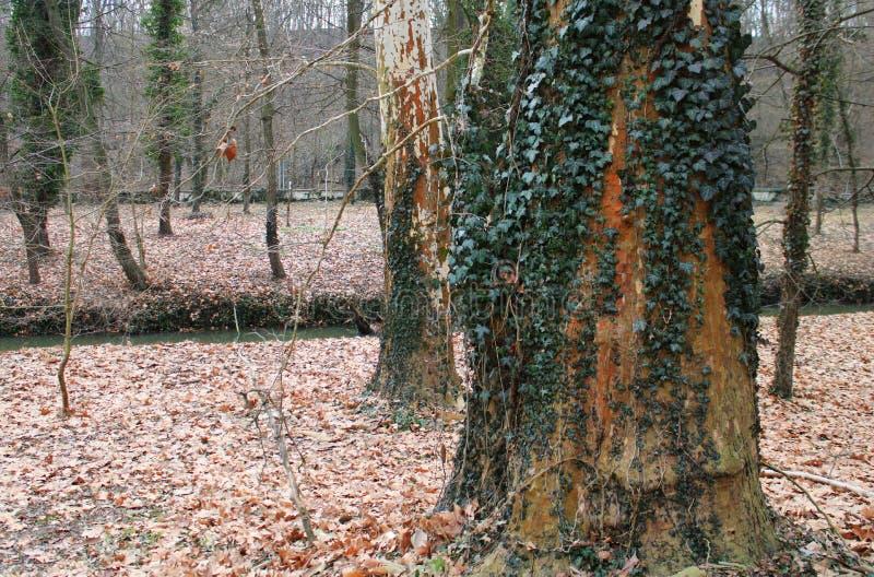 Ένας κισσός σε ένα δέντρο στοκ φωτογραφίες με δικαίωμα ελεύθερης χρήσης