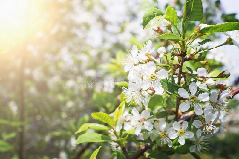 Ένας κλάδος του κερασιού ανθίζει την άνοιξη όμορφος φυσικός ανασκόπησης στοκ φωτογραφία με δικαίωμα ελεύθερης χρήσης