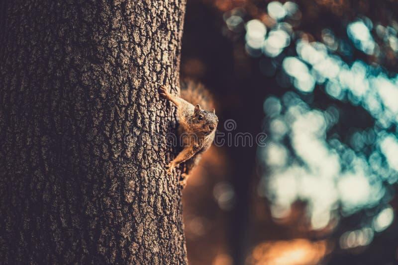 Ένας σκίουρος στην πλευρά του δέντρου που κοιτάζει μακριά στην απόσταση στοκ εικόνα