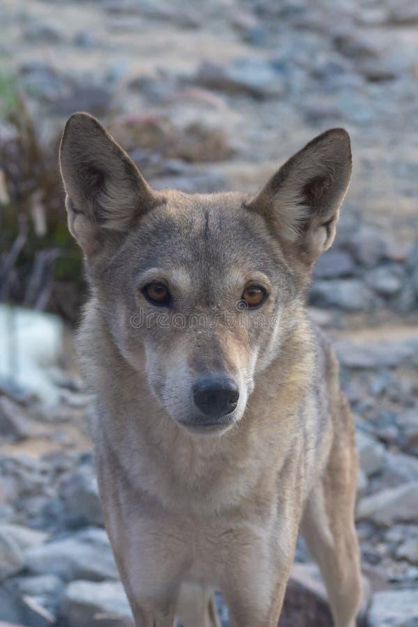 Ένας σπάνιος και διακυβευμένος αραβικός λύκος, ένα υποείδος του γκρίζου λύκου, σταματά και κοιτάζει επίμονα στο τοπίο ερήμων στοκ φωτογραφία