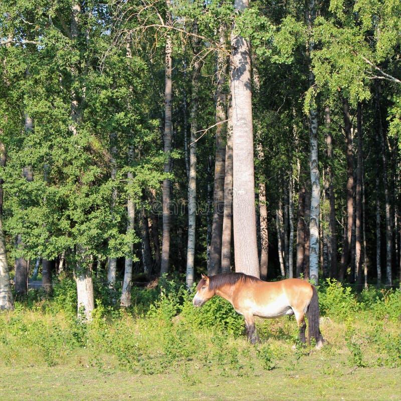 Ένα άλογο σε Högbo Bruk σε Sandviken στοκ φωτογραφίες με δικαίωμα ελεύθερης χρήσης