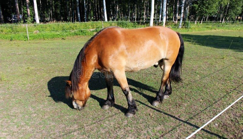 Ένα άλογο σε Högbo Bruk σε Sandviken στοκ εικόνα