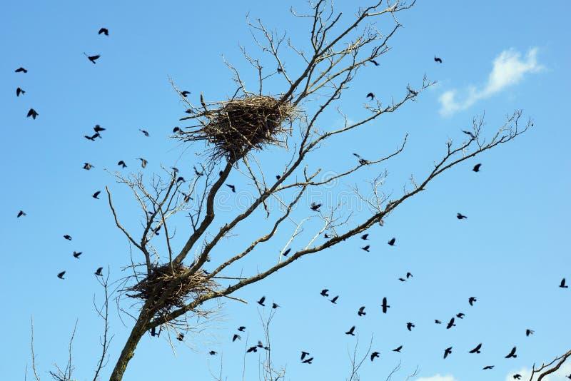 Ένα κοπάδι των κοράκων που πετούν πέρα από τα δέντρα με τις φωλιές στοκ εικόνες με δικαίωμα ελεύθερης χρήσης