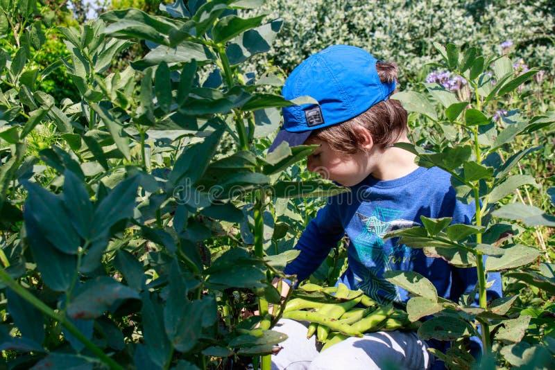 Ένα νέο αγόρι στον κήπο που επιλέγει τα ευρέα φασόλια Κηπουρική παιδιών Υγιής έννοια εκπαίδευσης ζωής και φύσης στοκ φωτογραφία με δικαίωμα ελεύθερης χρήσης