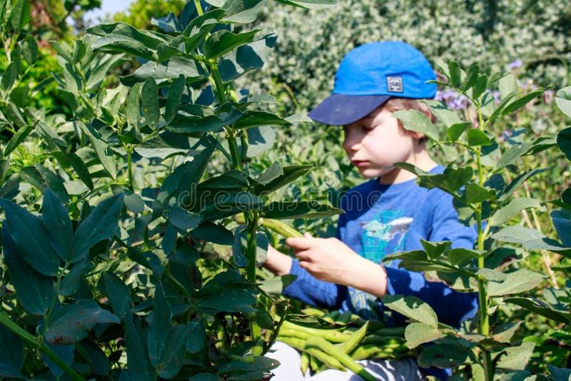 Ένα νέο αγόρι στον κήπο που επιλέγει τα ευρέα φασόλια Κηπουρική παιδιών Υγιής έννοια εκπαίδευσης ζωής και φύσης στοκ φωτογραφίες με δικαίωμα ελεύθερης χρήσης