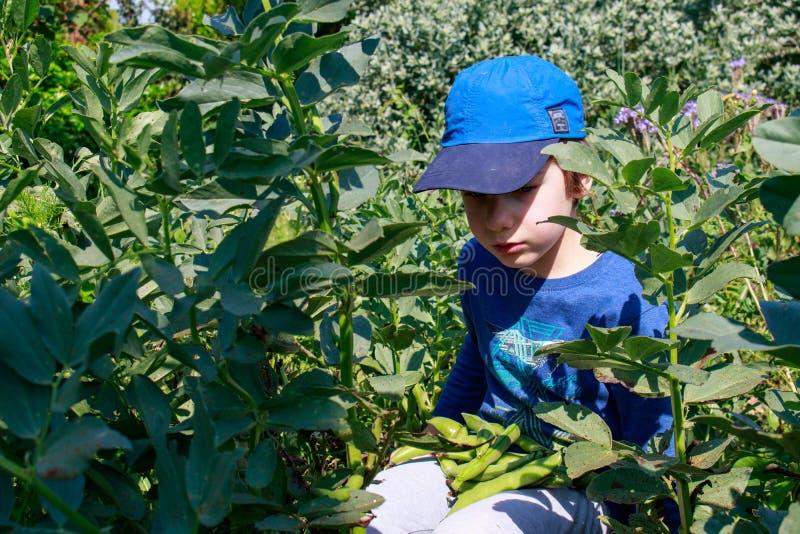 Ένα νέο αγόρι στον κήπο που επιλέγει τα ευρέα φασόλια Κηπουρική παιδιών Υγιής έννοια εκπαίδευσης ζωής και φύσης στοκ φωτογραφία