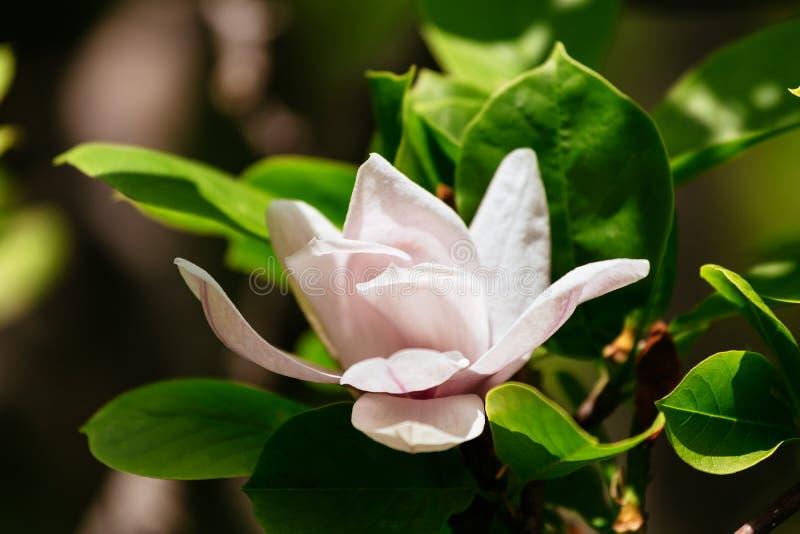 ένα όμορφο άσπρο λουλούδι magnolia με τη φρέσκια μυρωδιά στοκ φωτογραφία